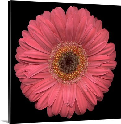 Single Pink Daisy 2