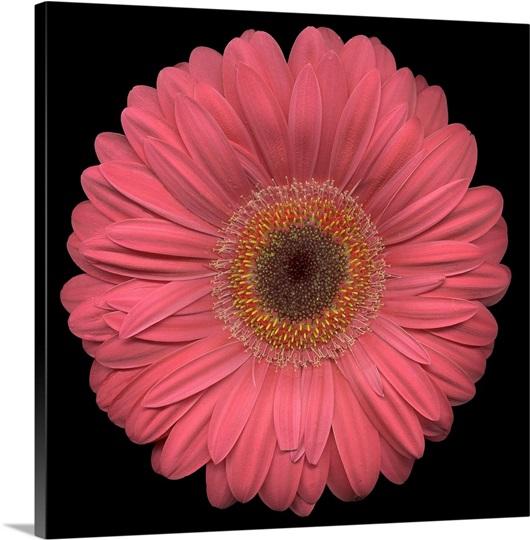 Single Pink Daisy 2