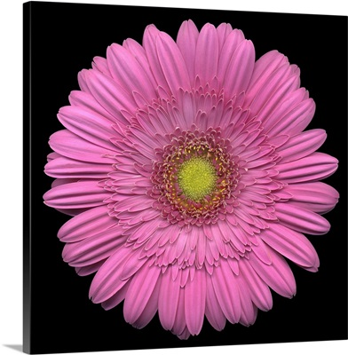 Single Pink Daisy 4