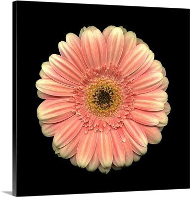 Single Pink Daisy 5