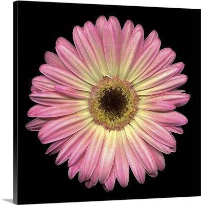 Single Pink Daisy 6