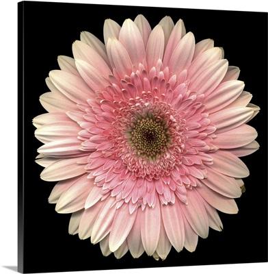 Single Pink Daisy 9