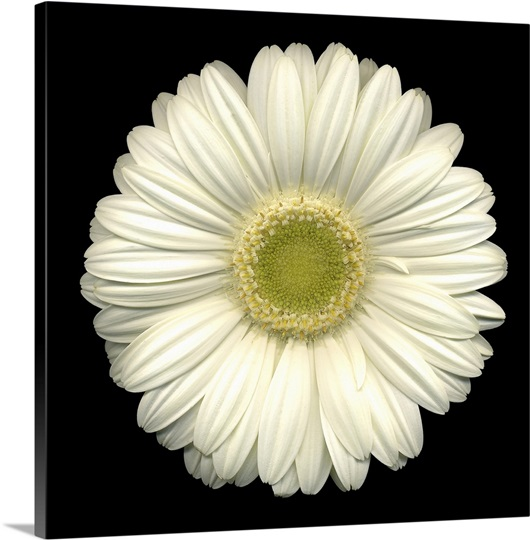 single white daisy  wall art, canvas prints, framed prints, wall, Beautiful flower
