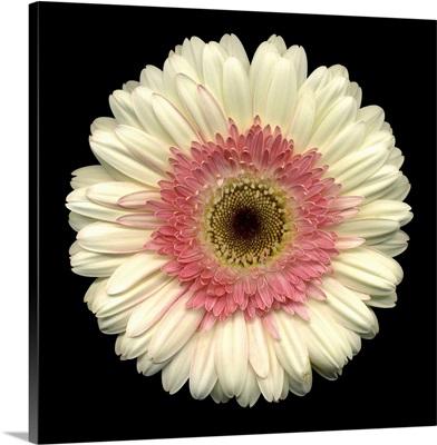 Single White Daisy 2