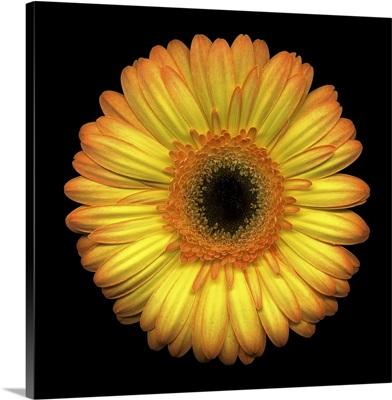 Single Yellow Daisy 1