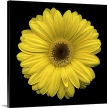 Single Yellow Daisy 2