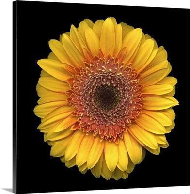 Single Yellow Daisy 3