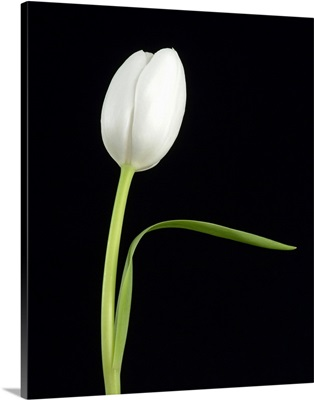 White Tulip 1