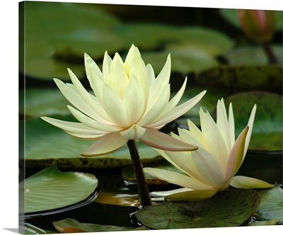 Yellow Water Lilies