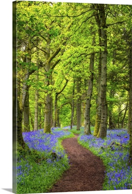 A Forest of Bluebells in Scotland's Bluebell Woods, Perthshire