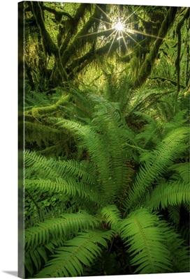 A Gorgeous Suburst and Fern, Hoh Rainforest