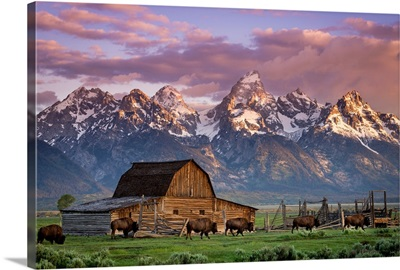 A Herd of Buffalo Walk In Front of Mormon Barn, Jackson, Wyoming