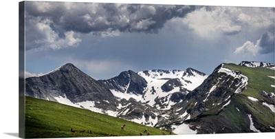 A Herd of Elk Graze In Colorado's Alpine Tundra; Rocky Mountain National Park, CO