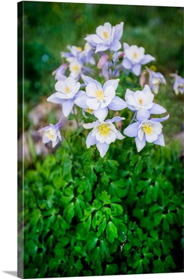 Columbine Flowers, Colorado