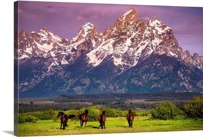 Wild Horses running, Grand Teton National Park, Wyoming