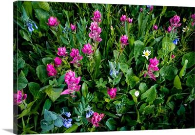 Wildflowers, Gunnison National Forest, Colorado