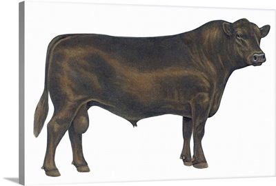 Angus Bull, Beef Cattle