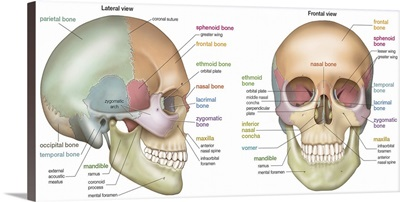 Anterior and lateral view of a skull. skeletal system