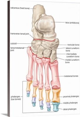 Bones of the foot - dorsal view. skeletal system
