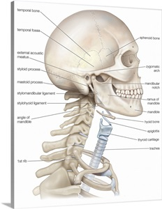 bony framework of head and neck. skeletal system wall art ... diagram of the lungs and throat diagram of throat bones
