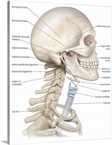 Bony Framework Of Head And Neck Skeletal System Wall Art Canvas