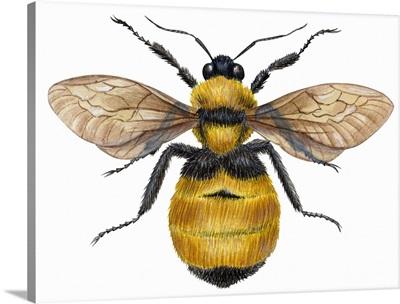 Bumblebee (Bombus Pennsylvanicus)