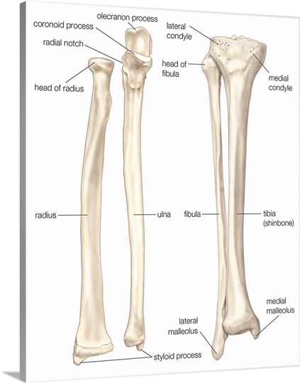 comparison of bones of forearm and lower leg - anterior view, Cephalic Vein