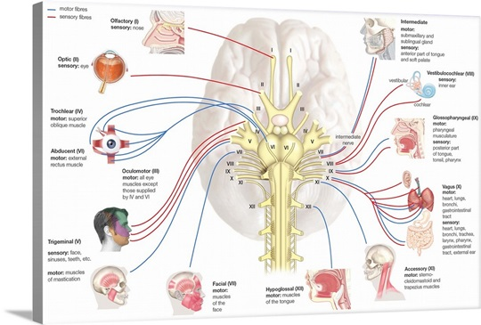Cranial nerves nervous system wall art canvas prints framed cranial nerves nervous system ccuart Images
