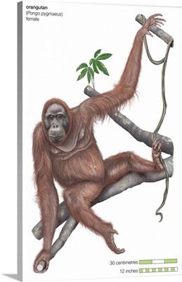 Female Orangutan (Pongo Pygmaeus), Ape