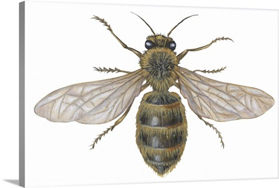 Honeybee (Apis Mellifica)