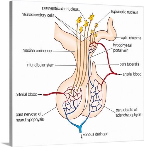 Hormones. Elements in a generalized mammalian pituitary gland ...