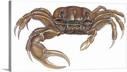 Marsh Fiddler Crab Uca Pugnax Illustration Wall Art Canvas Prints Framed Prints Wall Peels Great Big Canvas