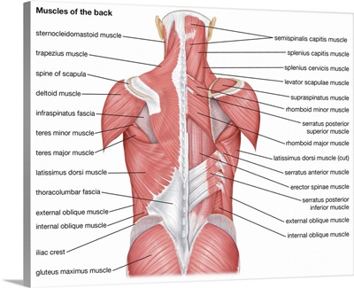 Muscles of the back - posterior view