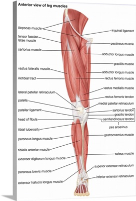 Muscles of the leg - anterior view