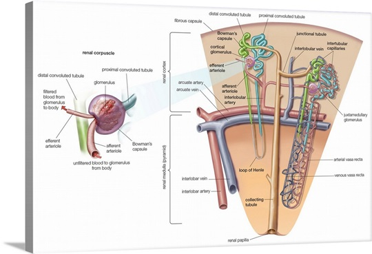 Nephron and collecting tubule and vascular system of nephron. Wall ...