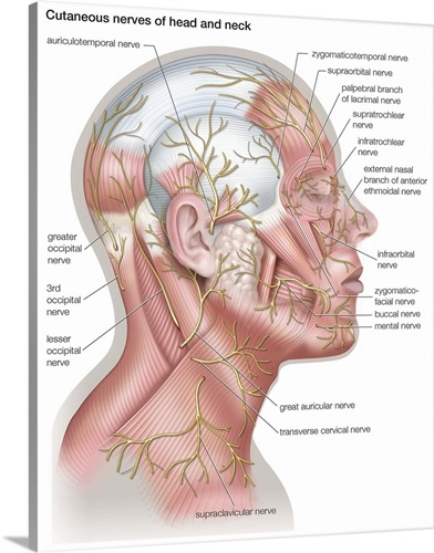 Nerves Of Head And Neck Lateral View Nervous System Wall Art