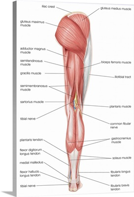 Posterior view of the muscles of the hip, thigh, and lower leg