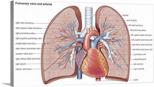 Pulmonary veins and arteries. circulation, cardiovascular system ...