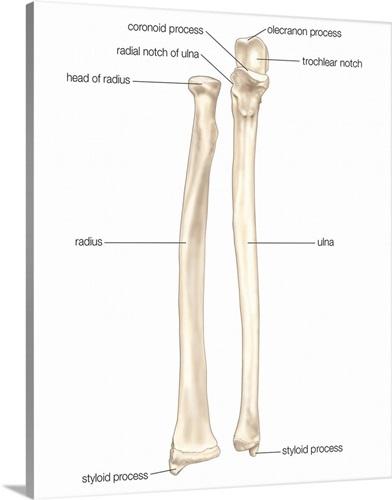 Right Radius And Ulna Bones In Supination Anterior View Skeletal