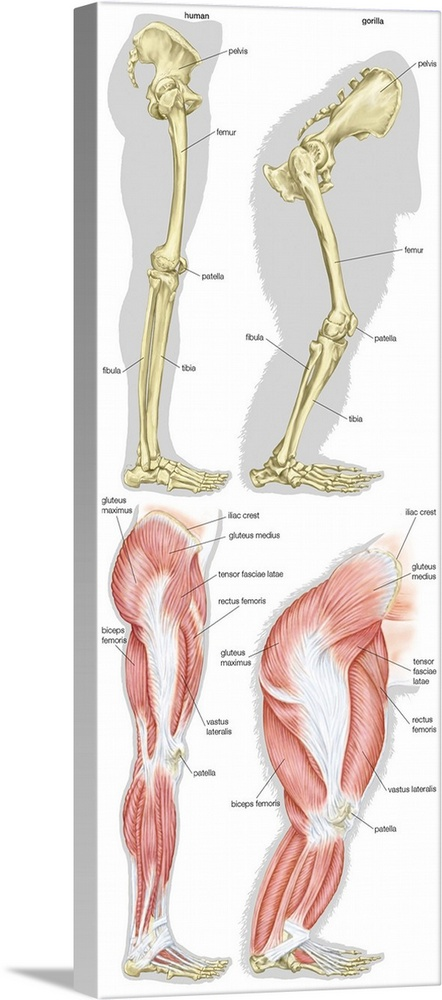 Skeletal And Muscular Structure Of The Right Leg Of Modern Human And