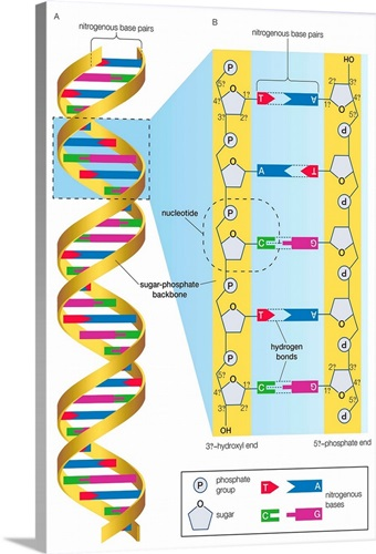 Structure Of Dna Molecule Wall Art Canvas Prints Framed Prints