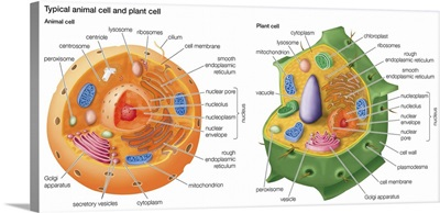 Typical Animal Cell and Plant Cell
