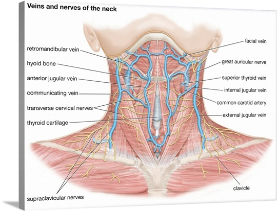 Veins And Nerves Of The Neck Cardiovascular System Nervous System