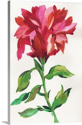 Cranberry Iris