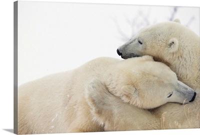 Polar Bears Hugging