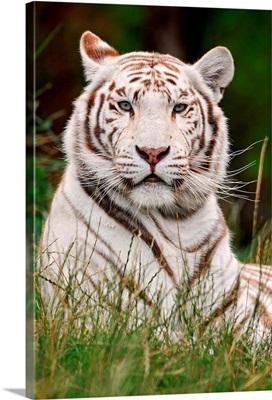 White Tiger in Grass