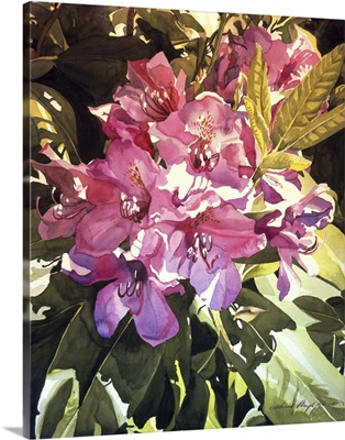 Royal Rhododendrons