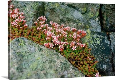 Norway, Utsira Island: flower in a stone crack
