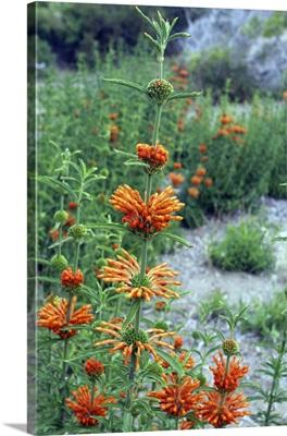 Orange flower, Aguas Verdes, Argentina