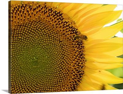 Tuscan Sunflowers II